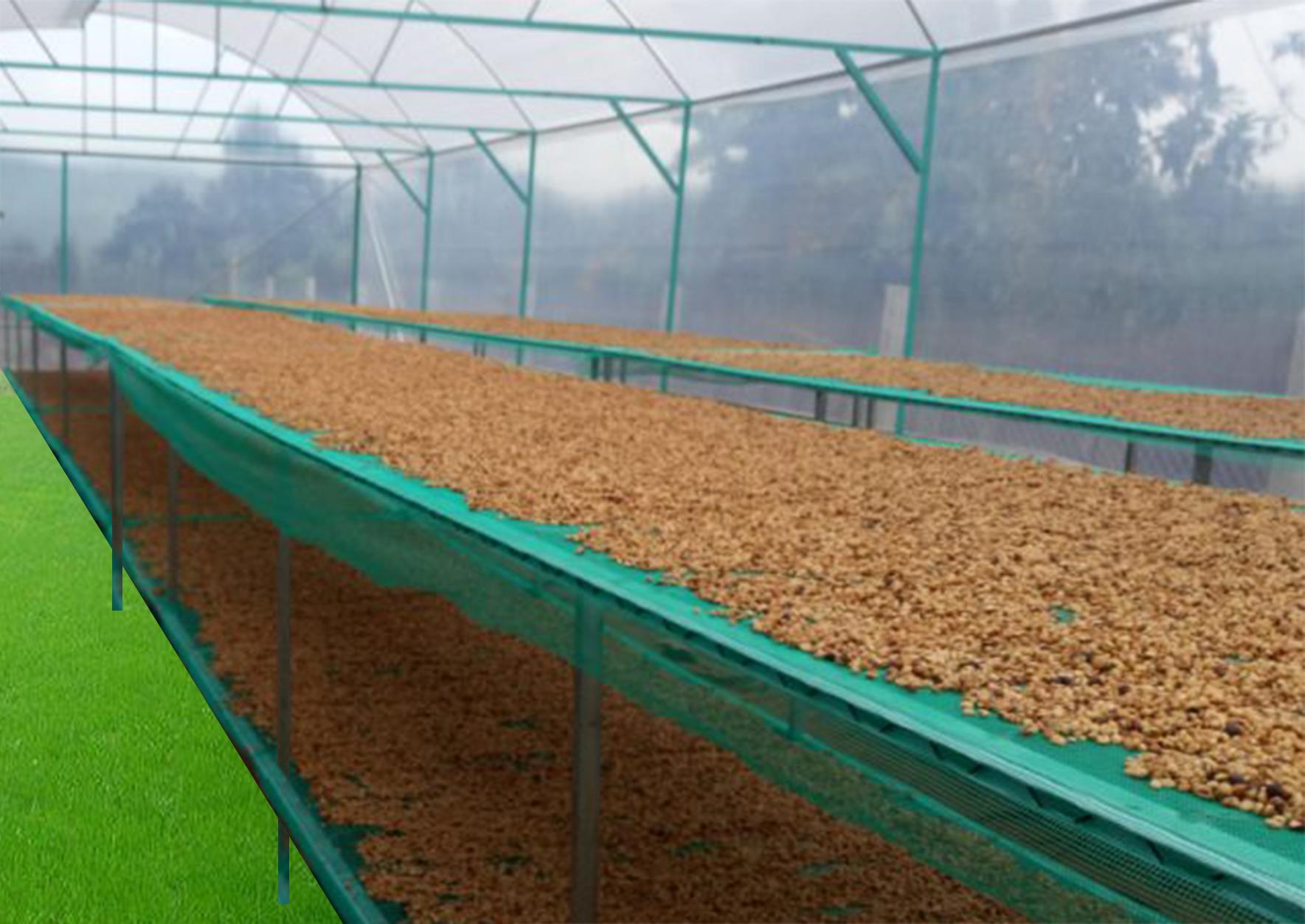 cà phê robusta là gì cà phê nguyên chất - phơi cà phê trong nhà kín